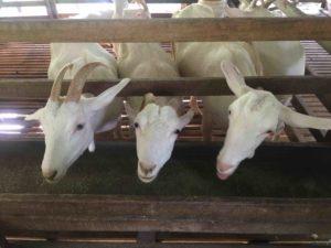 Visit the Farms of Balik Pulau   Penang Free Sheet